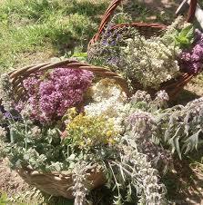 doles-tējas-pļavas-ziedi